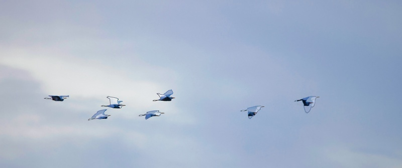 Cattle-Egret-flock-funky-flight-_Q5A0425-Indian-Lake-Estates-FL