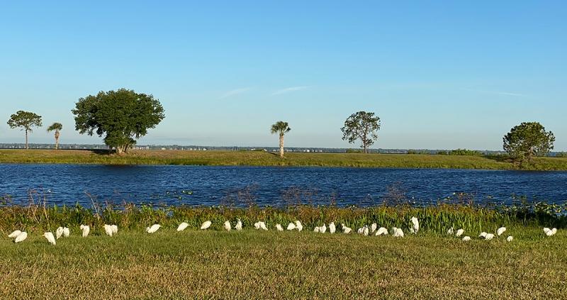 Cattle-Egret-flock
