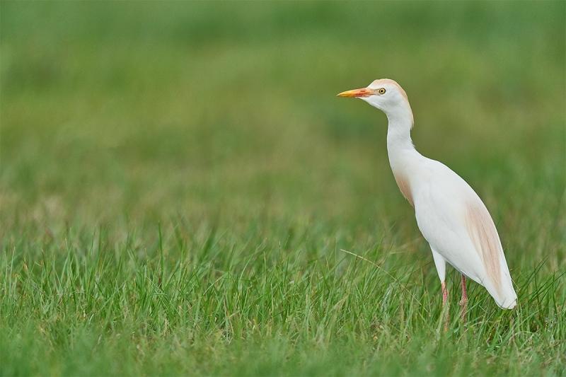 Cattle-Egret-in-grass-_A922574-Indian-Lake-Estates-FL-1