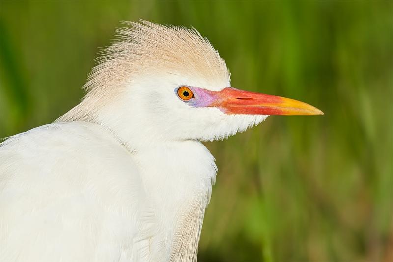Cattle-Egret-molting-breeding-plumage-_7R42027-Indian-Lake-Estates-FL-1