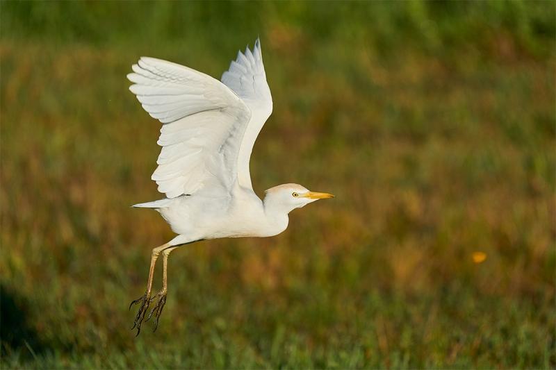 Cattle-Egret-non-breeding-taking-flight-wings-up-_A926037-Indian-Lake-Estates-FL-1