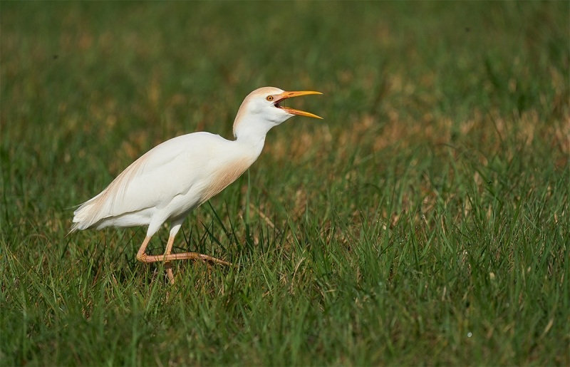 Cattle-Egret-swallowing-mayfly-_A923731-Indian-Lake-Estates-FL-1