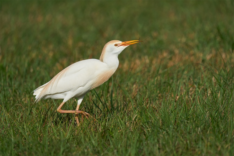 Cattle-Egret-with-mayfly-_A923730-Indian-Lake-Estates-FL-1