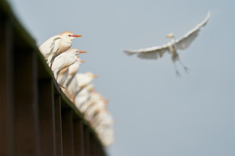 Cattle-Egrets-on-pier-railing-A-_A923575-Indian-Lake-Estates-FL-1