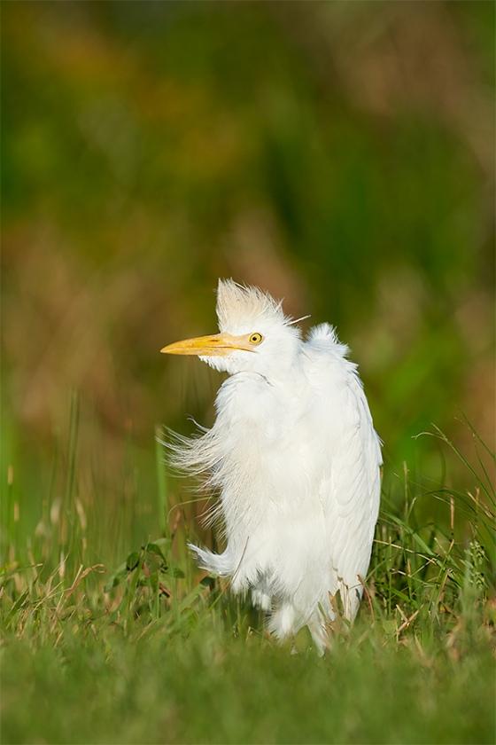 Cattlle-Egret-on-cold-morning-_7R41883-Indian-Lake-Estates-FL-1