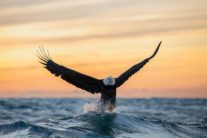 Clemens-Bald-eagle-cresting-wave-at-sunset_95I1193-Kachemak-Bay-Kenai-Peninsula-AK-USA