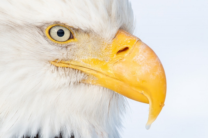 Clemens-Bald-eagle-eye-ball_A3I9462-Kachemak-Bay-Kenai-Peninsula-AK-USA