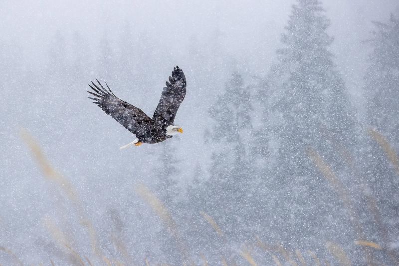 Clemens-Bald-eagle-flying-in-snow-storm_95I4911-Kachemak-Bay-Kenai-Peninsula-AK-USA