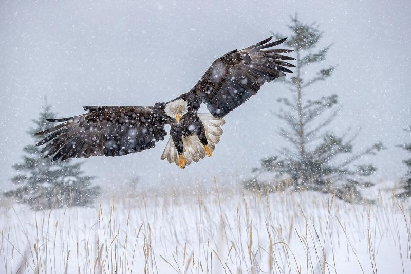 Clemens-Bald-eagle-with-pines-landing-in-the-snow_95I5002-Kachemak-Bay-Kenai-Peninsula-AK-USA