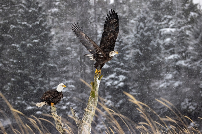 Clemens-TWO-Eagles-Feb-21_95I1101-Kachemak-Bay-Kenai-Peninsula-AK-USA