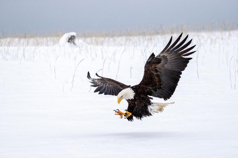 Clemens-eagle-in-snow-claws-forward_95I3844-Kachemak-Bay-Kenai-Peninsula-AK-USA