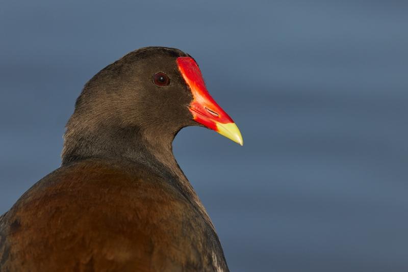 Common-Moorhen-look-back-head-portrait-_Q5A0253-Lakeland-FL-1