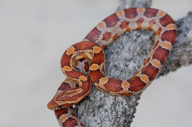 Corn-Snake-baby-captive-posed-_E0W8004-Little-Estero-Lagoon-Ft.-Myers-Bch-FL