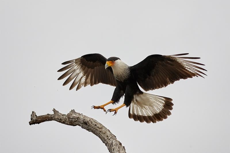 Crested-Caracara-landing-A-_H2D2400-Cozad-Ranch-Linn-TX