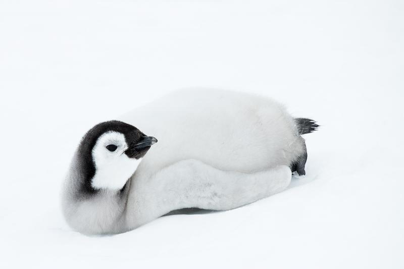 Emperor-Penguin-chick-in-pure-snow-_BUP6602--Snow-Hill-Island,-Antarctica