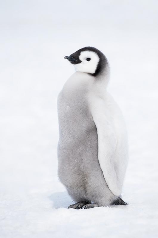 Emperor-Penguin-chick-in-snow-_BUP7451--Snow-Hill-Island,-Antarctica