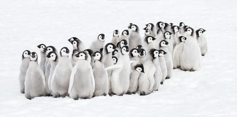 Emperor-Penguins-chick-creche-_BUP6961-Snow-Hill-Island-Antarctica