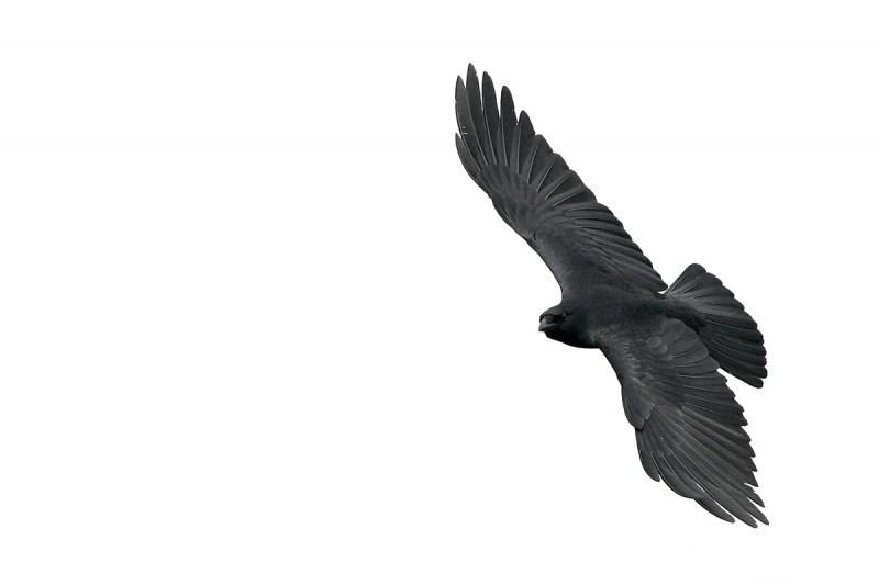 Fish-Crow-wheeling-flight-_H2D2590-Merritt-Island-NWR-Titusville-FL