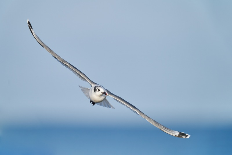 Frankliins-Gull-adult-winter-in-flight-_A927656-South-Padre-Island-TX-1