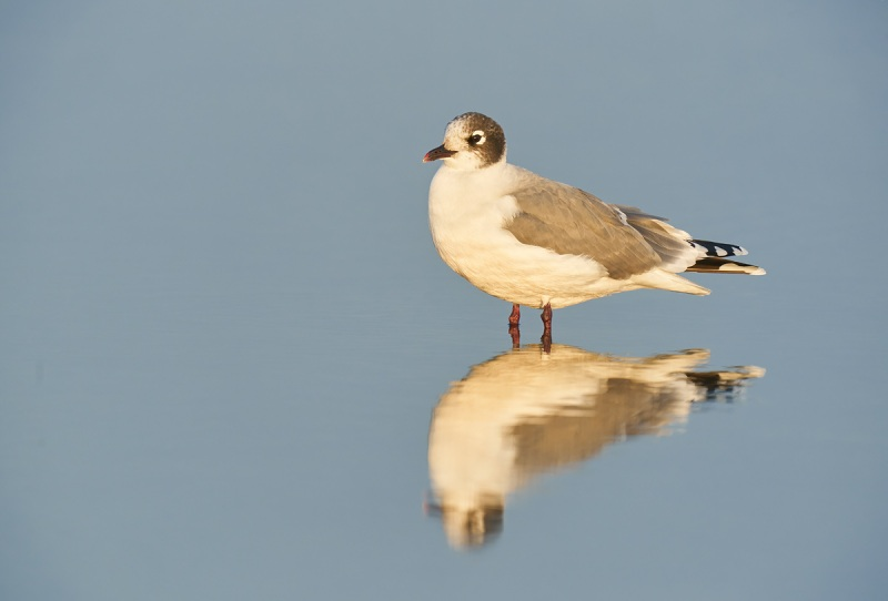 Franklins-Gull-adult-winter-_A925986-South-Padre-Island-TX-1