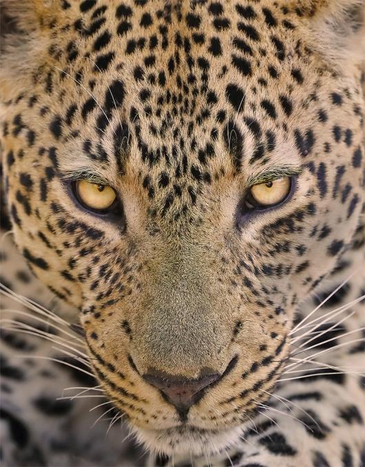 GG-Male-Leopard-Face