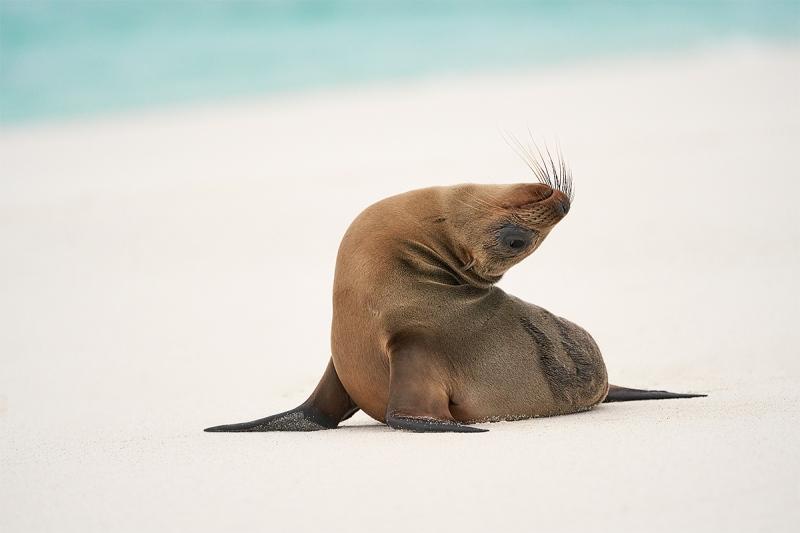 Galapagos-Sea-Lion-pup-stretching-A-_A7R2018-Gardner-Bay-Espanola-Hood-Island-Galapagos-1