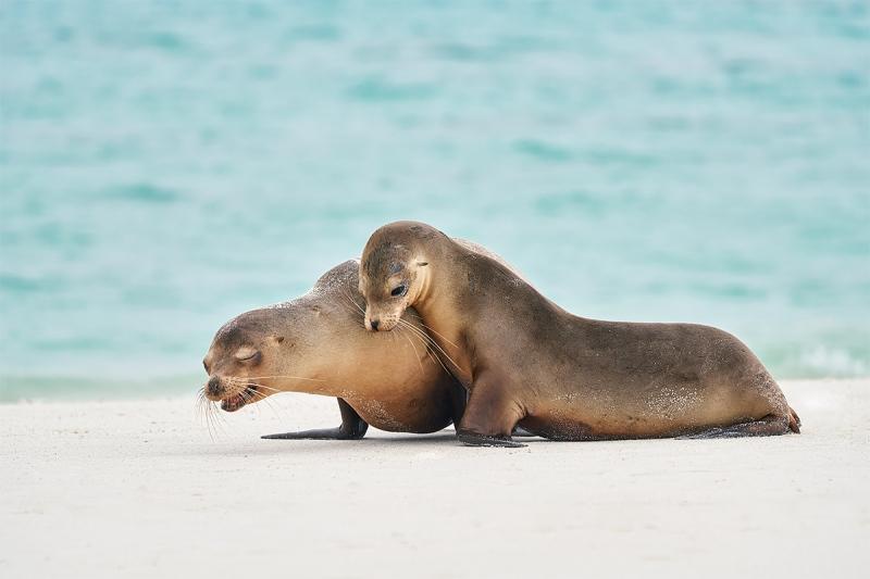 Galapagos-Sealions-playing-_A7R2418-Gardner-Bay-Espanola-Hood-Island-Galapagos-1