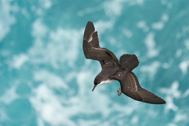 Galapagos-Shearwater-a-dorsal-view-in-flight-adult