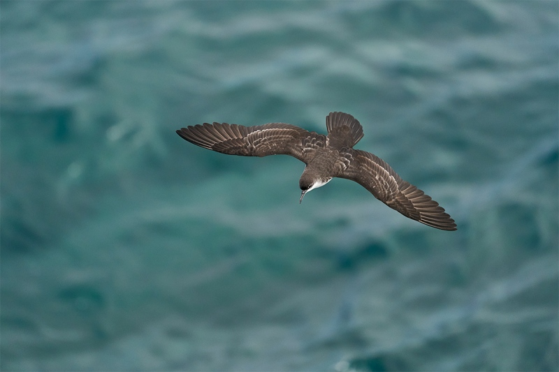 Galapagos-Shearwater-a-dorsal-view-in-flight-juvenile