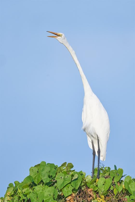 Geat-Egret-juvenile-calling-_7R44456-Indian-Lake-Estates-FL-1