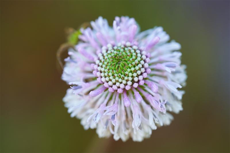 Grassleaf-Barbaras-Buttons-Marshallia-graminifolia_7R47313-Indian-Lake-Estates-FL-1