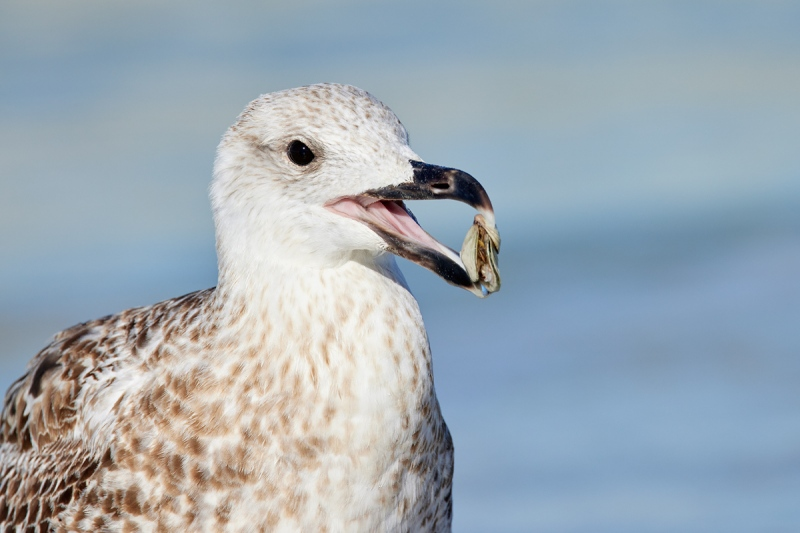 Great-Black-backed-gull-first-winter-with-mollusk-_Q5A5336-Fort-DeSoto-Park-FL-1
