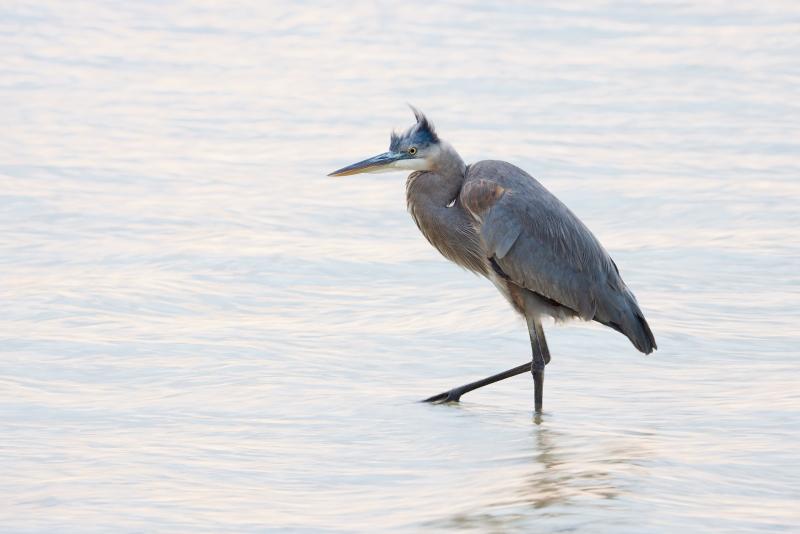 Great-Blue-Heron-1-8-sec-DESAT-_Q5A7202-Tierra-Verde-FL-1