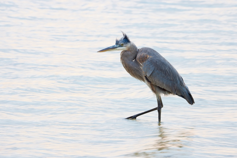 Great-Blue-Heron-1-8-sec-_Q5A7202-Tierra-Verde-FL-1