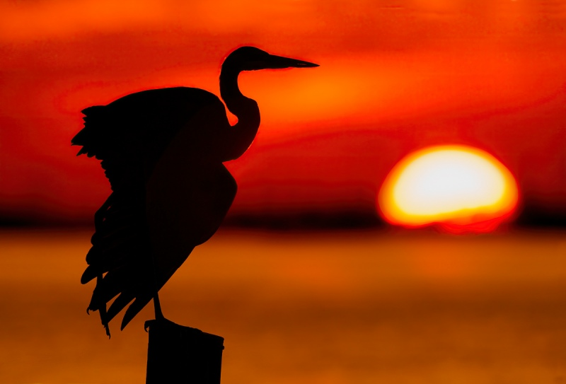 Ardea herodias; Great Blue Heron