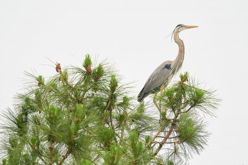 Great-Blue-Heron-atop-pine-tree-_A9B7809-Indian-Lake-Estates-FL-1