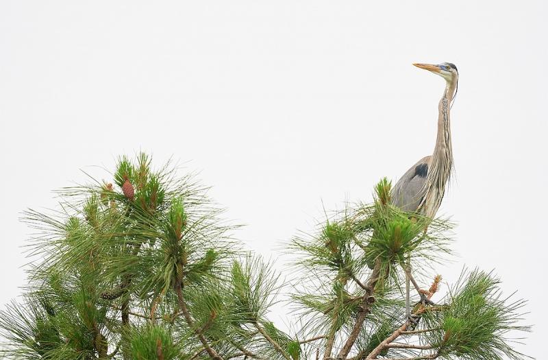 Great-Blue-Heron-atop-pine-tree-_A9B7816-Indian-Lake-Estates-FL-1