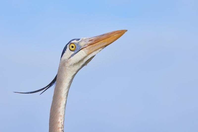 Great-Blue-Heron-blue-sky-head-portrait-_Q5A6445-Fort-DeSoto-Park-FL-1