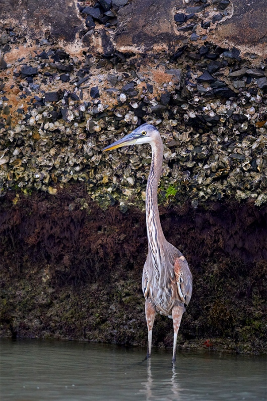 Great-Blue-Heron-by-derelict-battery-_W5A8338-Fort-DeSoto-Park-Pinellas-County-FL-1