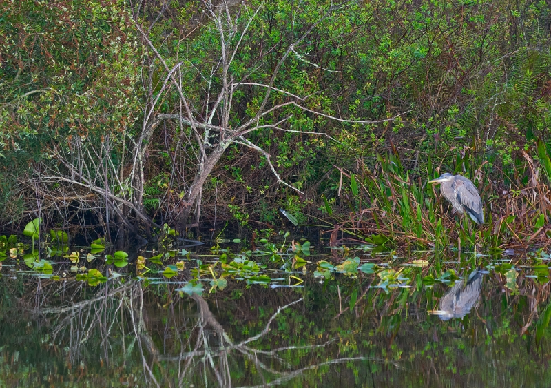 Great-Blue-Heron-immature-by-canal-_A921506-Indian-Lake-Estates-FL-1