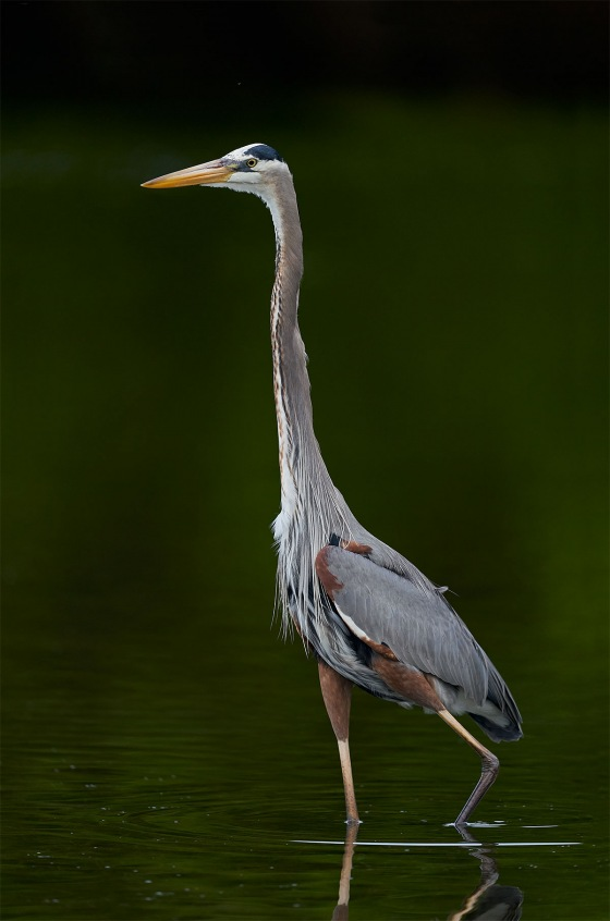 Great-Blue-Heron-in.-mangrove-reflections-_A921124-Fort-DeSoto-Park-Tierra-Verde-FL-1