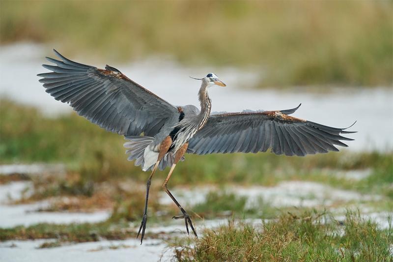 Great-Blue-Heron-landing-_A921365-Fort-DeSoto-Park-Tierra-Verde-FL-1