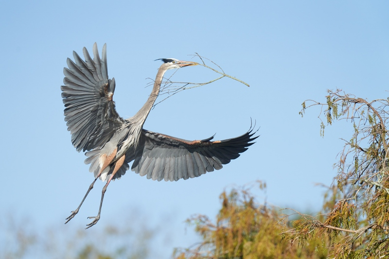 Great-Blue-Heron-landing-with-nesting-material-_7R42325-Lakeland-FL-1