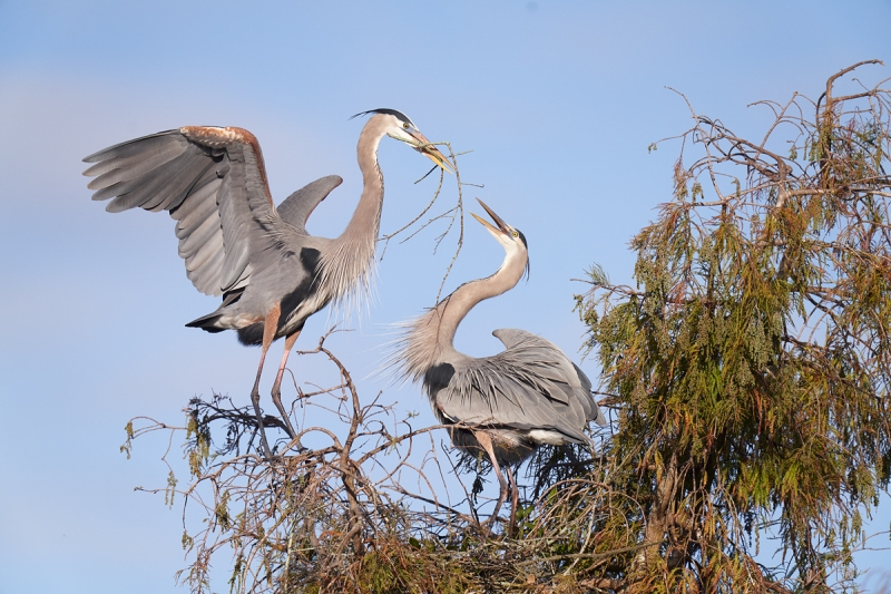 Great-Blue-Heron-male-bringng-stick-to-nest-_7R42186-Lakeland-FL-1