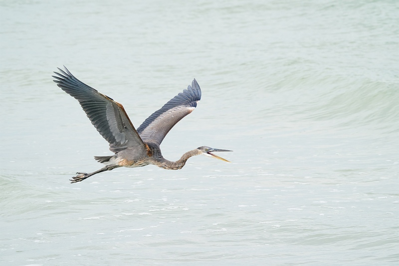 Great-Blue-Heron-squawking-_A9B6348-Fort-DeSoto-Park-FL-1