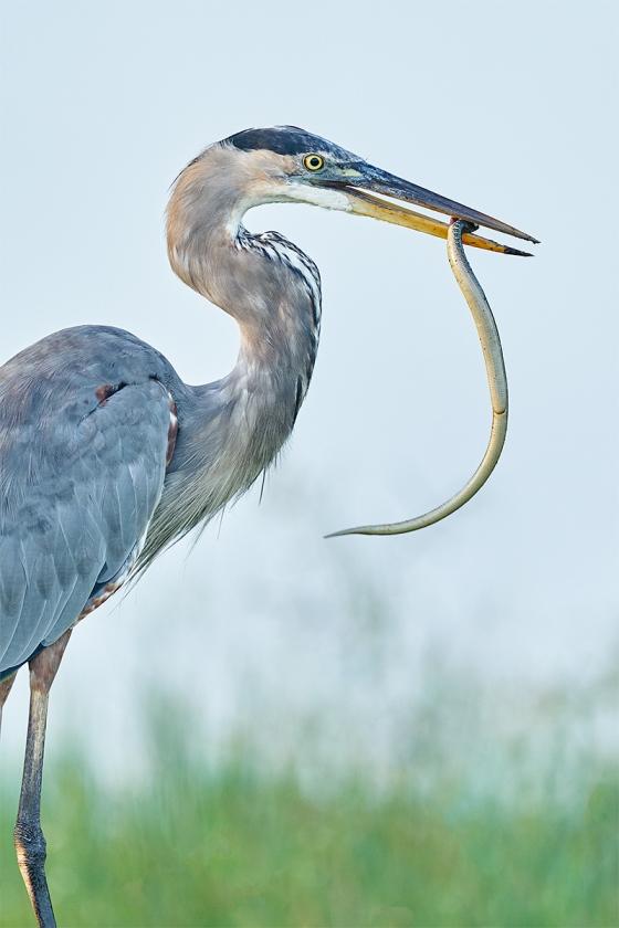 Great-Blue-Heron-with-snake-_A9B6612-Indian-Lake-Estates-FL-1