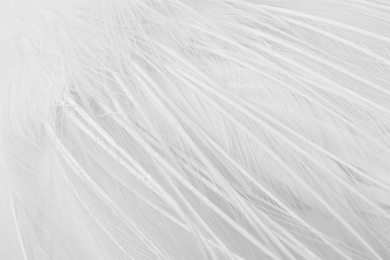 Great-Egret-aigrettes-_DSC3224-Gatorland