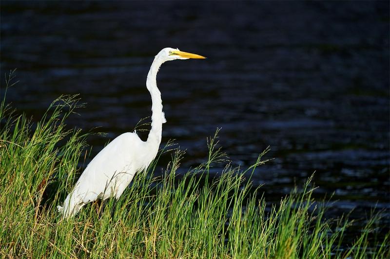 Great-Egret-fishing-_A927865-Indian-Lake-Estates-FL-1
