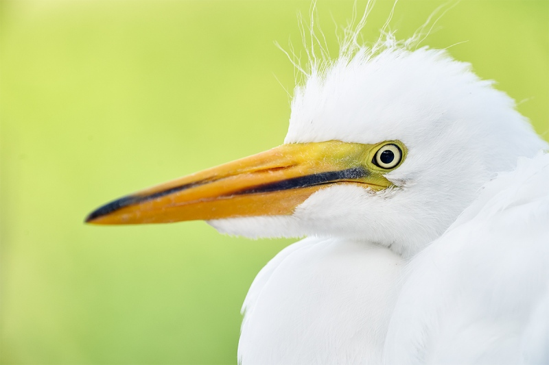 Great-Egret-grown-chick-head-portrait-_A9A1084-Gatorland-Kissimmee-FL-1
