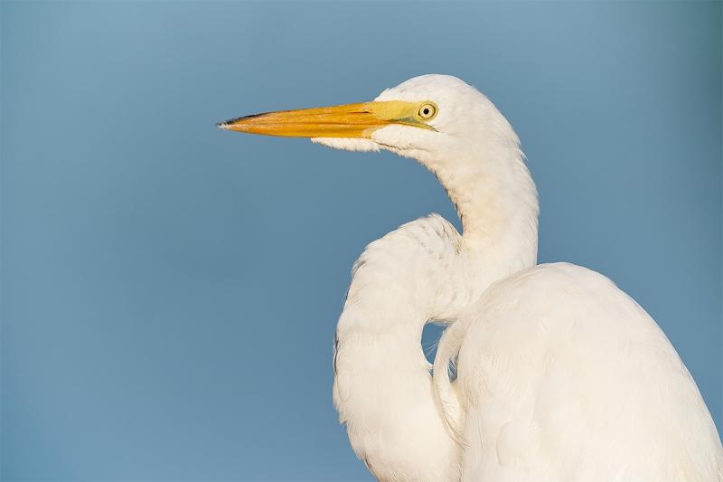 Great-Egret-head-and-shoulders-portrait-_A9B3260-Indian-Lake-Estates-FL-1